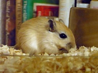 Gerbil - A young gerbil sitting by the food bowl to eat