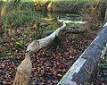 Aare-Auwald -– vom Biber gefällte und entrindete Bäume.jpg