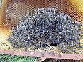 Abeilles-mortes-dead-bees.JPG