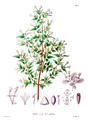 Abelia spp SZ34.png