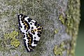 Abraxas grossulariata, Magpie, Bonte bessenvlinder 02.jpg