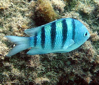 Sergeant major (fish) - Sergeant fish near Paraty, Brazil