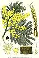 Acacia-decurrens2.jpg