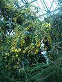 Acacia baileyana BotGardBln271207.jpg