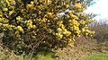 Acacia dealbata, Santa Coloma de Farners 02.jpg