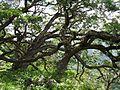 Acacia koa (5187357237).jpg