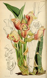 Acanthephippium javanicum