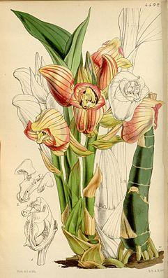 Acanthephippium javanicum, Illustration.