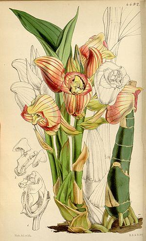 Acanthephippium - Image: Acanthephippium javanicum
