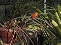 Acanthostachys strobilacea (TS) 1-00843.jpg