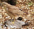 Accipiter nisus -England -immature with kill-8.jpg