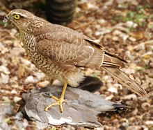 A sparrowhawk standing on and plucking a large grey bird