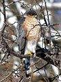 Accipiter striatus , Sharp-shinned Hawk.jpg