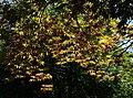 Acer, Coleton Fishacre - geograph.org.uk - 1352501.jpg