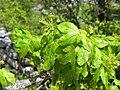 Acer campestre. Pládanu bravu (flores).jpg