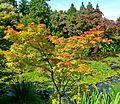 Acer palmatum Shigitatsu-sawa 1.jpg