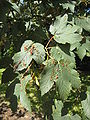 Acer pseudoplatanus leaves with disease.jpg