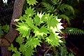 Acer shirasawanum 'Aureum' in Christchurch Botanic Gardens 01.jpg