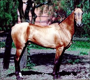 Turkoman horse - An Akhal-Teke horse. The breed is the living remnant of the Turkoman horse.