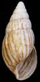 Achatina vassei shell.png