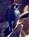 Acorn Woodpecker (25839483118).jpg