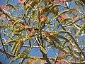 Acrocarpus fraxinifolious 02.JPG