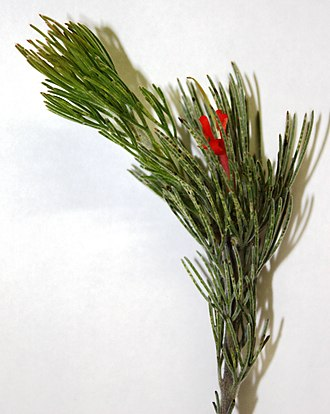 Adenanthos sericeus - Image: Adenanthos sericeus sprig with flower