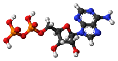 Ball-and-stick model of ADP (shown here as a 3- ion)