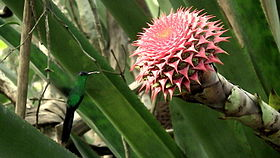 Aechmea multiflora.jpeg