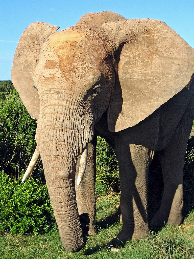 file african elephant jpg  file african elephant jpg