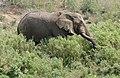 African Elephant (Loxodonta africana) bull eating reeds ... (31886961200).jpg