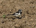 African Pied Wagtail; October 2015.jpg