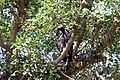 African crowned eagle 2017 11 20 6152.jpg