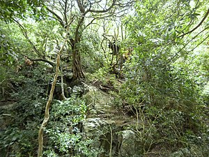 Southern Afrotemperate Forest - Western Cape Afrotemperate forest growing at Newlands Forest in Cape Town