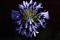 Agapanthus close shot.jpg