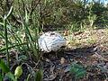 Agaricaceae sp. (5198031586).jpg