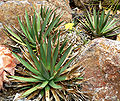 Agave arizonica 3.jpg