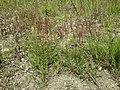 Agrostis stolonifera sl20.jpg