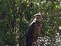 Aigle des steppes - Aquila nipalensis.jpg