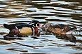 Aix sponsa (Wood Duck - Brautente) - Weltvogelpark Walsrode 2012-07.jpg