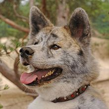 ... akita inu brindle coloration is less distinct on longer haired dogs
