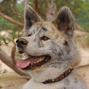 Brindle - Brindle Akita Inu, Brindle coloration is less distinct on longer-haired dogs
