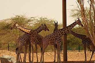 Nubian giraffe - Image: Al Ain Zoo Giraffe