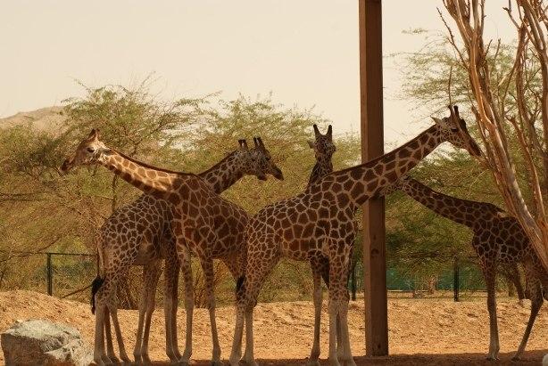 Al Ain Zoo Giraffe