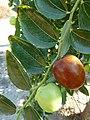 Alb-Z. jujuba-fruit-4.jpg