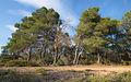 Aleppo Pines grove, Pinet, Hérault.jpg