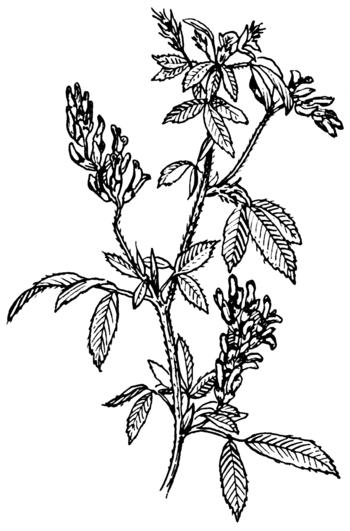English: An illustration of alfalfa leaves.