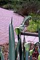 Allium cepa 0zz.jpg