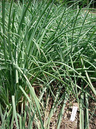 Allium chinense - Image: Allium chinense 1