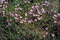 Allium praecox (early onion) (5724597591).jpg